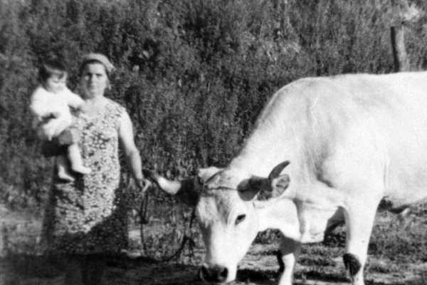 lavoro con buoi work with oxen